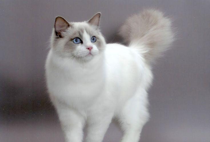 """O nome deste gato grandalhão significa """"boneca de trapo"""", isto porque quando os seguramos nos braços, tem o curioso hábito de se deixar c..."""