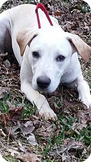 Woodstock, GA - Labrador Retriever/Mixed Breed (Large) Mix. Meet Blondie, a puppy for adoption. http://www.adoptapet.com/pet/17095652-woodstock-georgia-labrador-retriever-mix