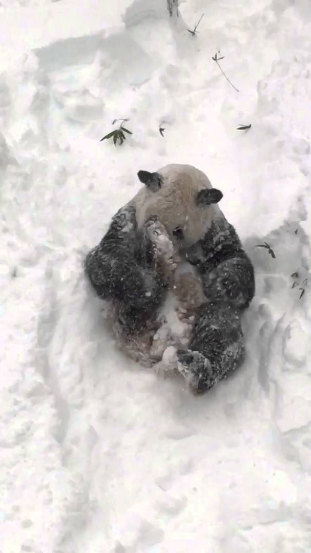 An absolutely adorable giant panda named Tian Tian, who lives at the Smithsonian's National Zoo and Conservation Biology Institute, had himself the time of his life, gleefully rolling around and tr…