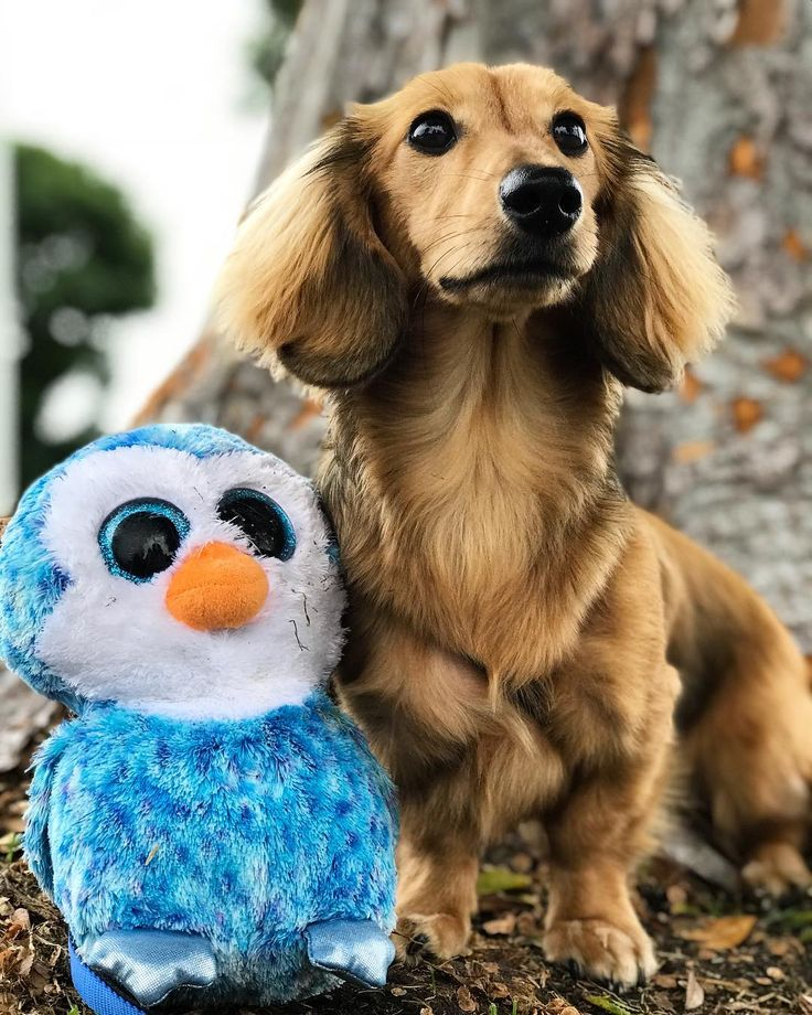DID YOU KNOW : The standard size dachshund was developed to scent chase and flush out badgers and other burrow-dwelling animals while the miniature dachshund was bred to hunt smaller prey such as rabbits. In the United States dachshunds have also been used to track wounded deer and hunt prairie dogs. #irvinevalleyvet #veterinarian #vet #irvine #tustin #newportbeach #petboarding #petbathing #irvinespectrum #irvinevalleycollege #IVVH #southerncalifornia #socalvet #companionanimal #smallanimal…