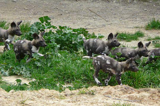 La réserve africaine de Sigean a été le théâtre de la naissance de 8 lycaons, des chiens sauvages originaires d'Afrique et qui vivent en meute. Dans le milieu naturel, ils sont en danger d'extinction
