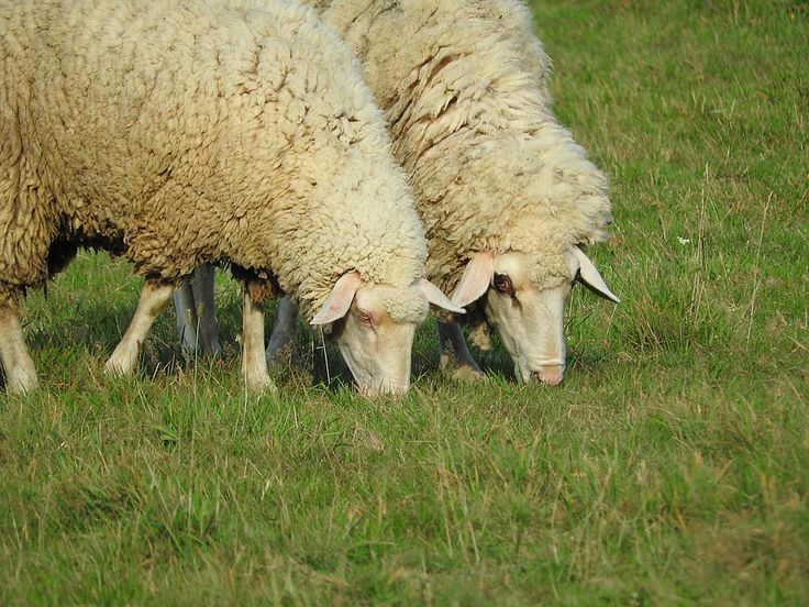 Najmłodsi zdają sobie sprawę, że należy respektować ziemię a wypas owiec oraz innych zwierząt jest konieczny. Dlatego w ciągu wakacji u dziadków najmłodsi szanują rolników i ich wysiłek, czyli ekologiczny wypas owiec. Przecież owce to przyjacielskie i milutkie zwierzaki. Podczas ekologicznego wypasu zwierzęta są usatysfakcjonowane i nie stresują się, dlatego dają ekologiczne mleko, które każda mamusia daruje dzieciom.