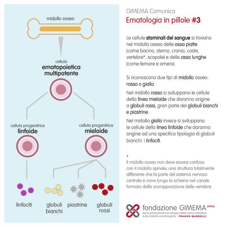 Ematologia in pillole #3: Emopoiesi  Fondazione GIMEMA Onlus