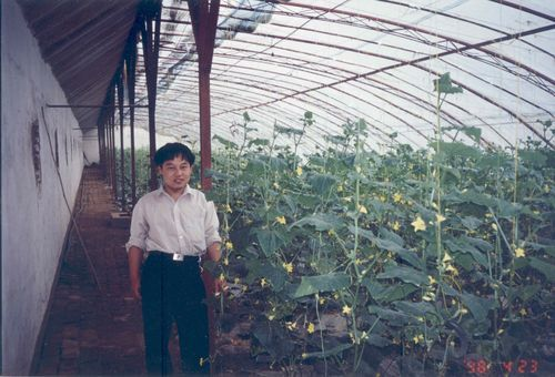Cucumbers in a chinese solar greenhouse
