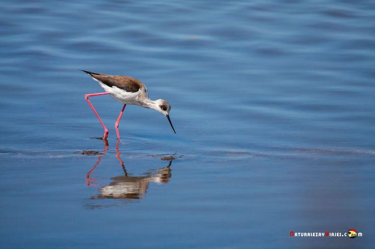 Dónde ver aves en el Algarve, Portugal - via Naturaleza y Viajes 16-01-2017 | El birdwatching, del que os hablé en este artículo que publicamos hace un par de meses, se basa en la observación y el estudio de las aves silvestres. Casi 300 especies de este grupo de vertebrados (entre rapaces, marinas, limícolas, anátidas, paseriformes y otras) se dan cita en este territorio repartidas a lo largo de todo el año. Foto: Cigüeñuela