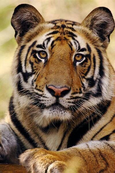 Pet and take my picture with a tiger... my favorite animal