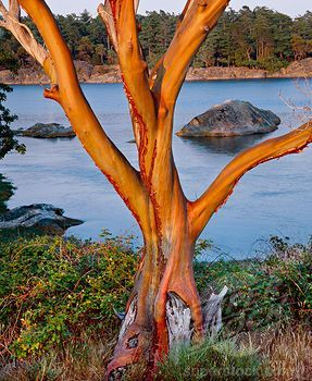 Image result for puget sound paintings madrona tree