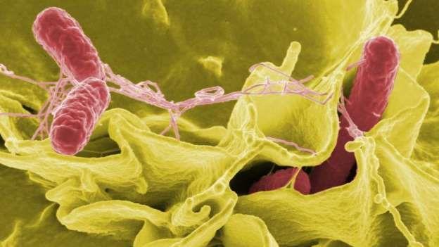 Bacteria peligrosa: SALMONELA Salmonella es un género de bacterias. Aunque viven habitualmente en el tracto digestivo de los mamíferos, incluidos los humanos, algunas especies son patogénicas y producen salmonelosis, una enfermedad que presenta síntomas como diarrea, dolor abdominal, dolor de cabeza, fiebre y erupciones cutáneas. También son resistentes a la fluoroquinolona. Subido por Mery