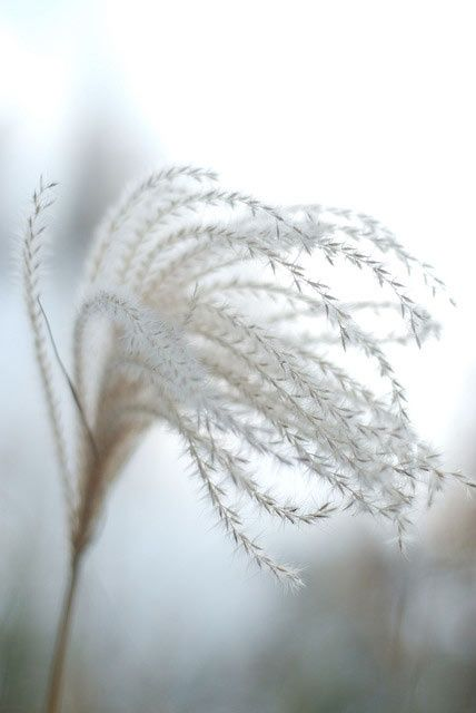 Windswept - delicate nature - natural white texture & pattern source for design