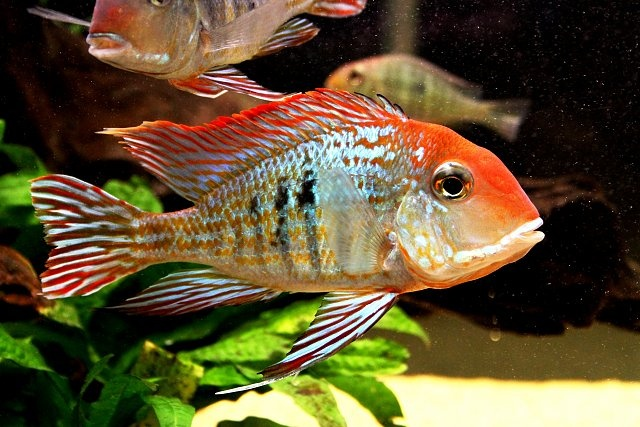Geophagus orange head freshwater fish pinterest for Good pet fish
