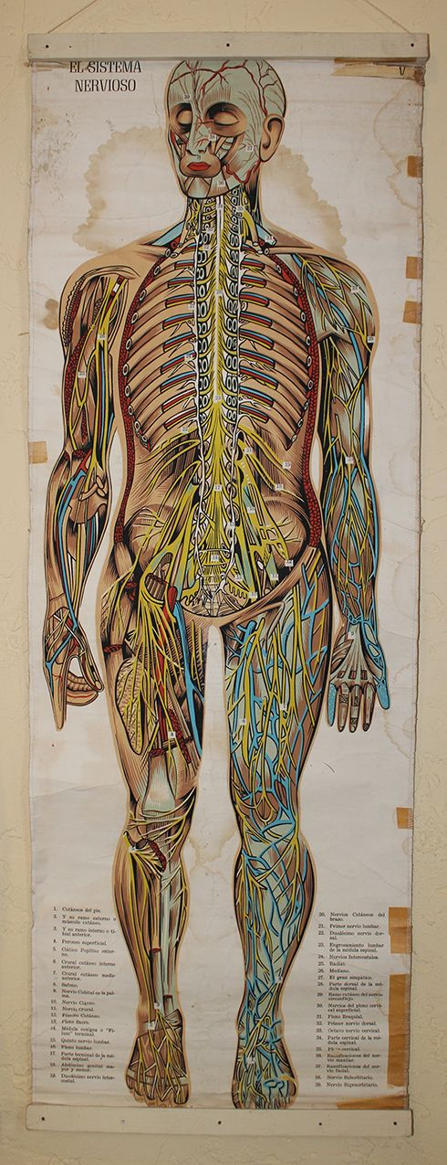 Will not vintage anatomy chart