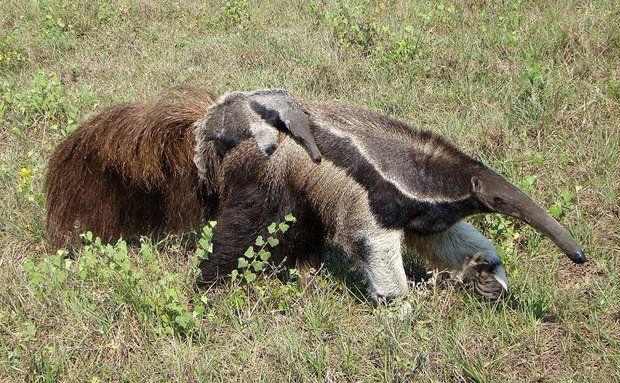 Para proteger o filhote de predadores, o tamanduá-bandeira fêmea carrega a cria nas costas até que esta atinge cerca de metade do tamanho da mãe, o que ocorre após seis a nove meses. Somente um filhote é gerado por cria, atingindo a maturidade em dois anos e meio.