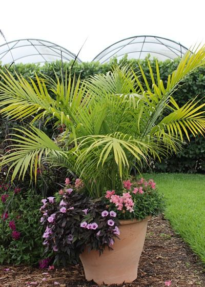 "Majesty Palm makes a spectacular ""thriller,"" the tall, bold element in a container. Learn more of our favorite thrillers for container gardening at The Home Depot's Garden Club."