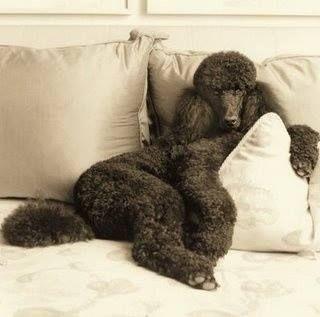#Poodle #standard #black                                                       …