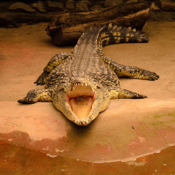#Cocodrilo del Nilo | En el #Parque #Zoológico Buin Zoo