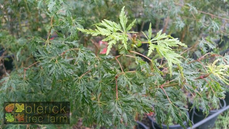 Acer palmatum dissectum – Seiryu – Purchase Bare Rooted Trees Online