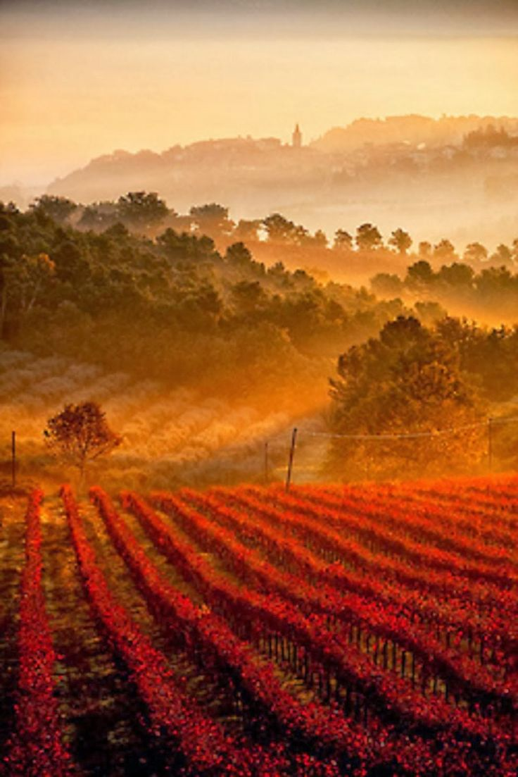 Vineyards, Umbria, Tuscany, Italy: