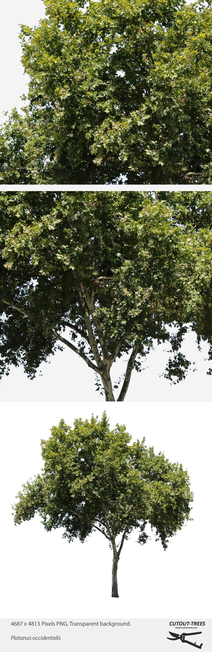 4687 x 4813 Pixels. PNG. Transparent background.  Platanus occidentalis  American Sycamore, American Planetree, Occidental Plane;  Native to North America. Usually called sycamore in North America. In its native range, it is often found in riparian and wetland areas. The sycamore tree is able to endure the urban environment and is extensively planted as a shade tree in streets and parks.