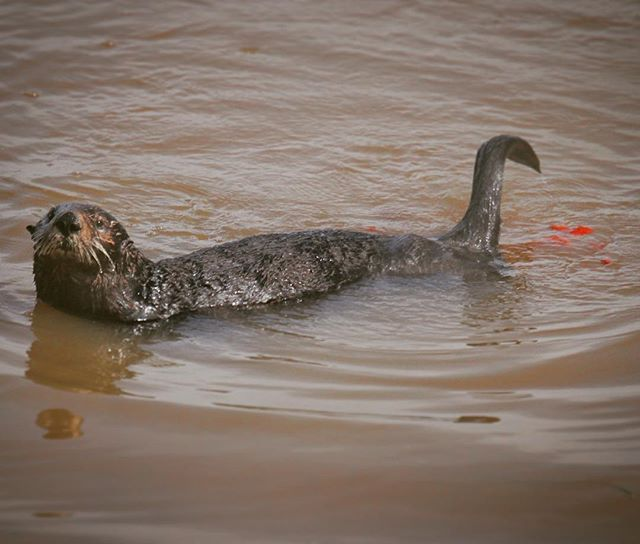 That's not an otter pop he just made.  #poop #itspoop #otterpo(o)p  Sea otter (Enhydra lutris). #montereybaylocals - posted by Sharon https://www.instagram.com/sha.hsu - See more of Monterey Bay at http://montereybaylocals.com