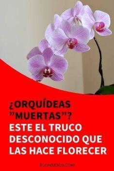 """¿Orquídeas """"muertas""""? Este el truco desconocido que las hace florecer"""
