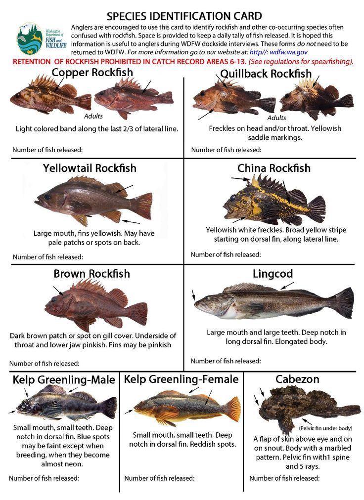 72 best images about rockfish and lingcod on pinterest for California out of state fishing license