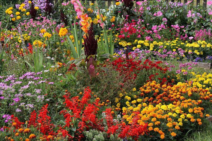 Jardíns Tagetes Cosmos planta Muchas Crocosmia  Flores