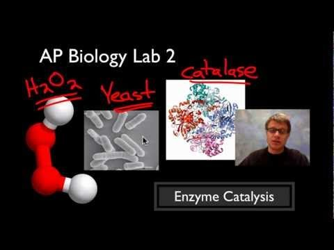 ap lab 2 enzyme catalysis Paul andersen starts with a brief description of enzymes and substrates he then explains how you can measure the rate of an enzyme mediated reaction catalase from yeast is used to break.