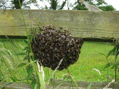 How to Catch a Swarm of Bees Safely (and Get Bees for Free)