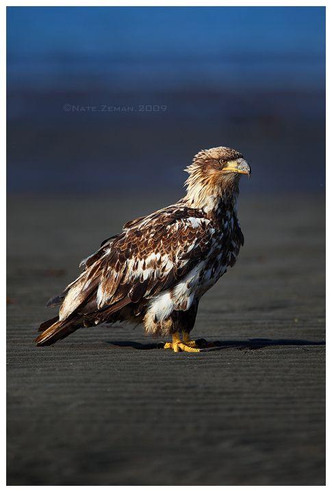 ✯ Juvenile Bald Eagle .. By ~Nate-Zeman✯