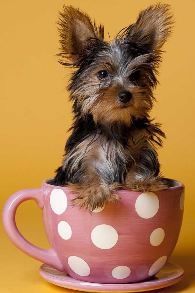 17 Best images about Tea cup pups on Pinterest ...
