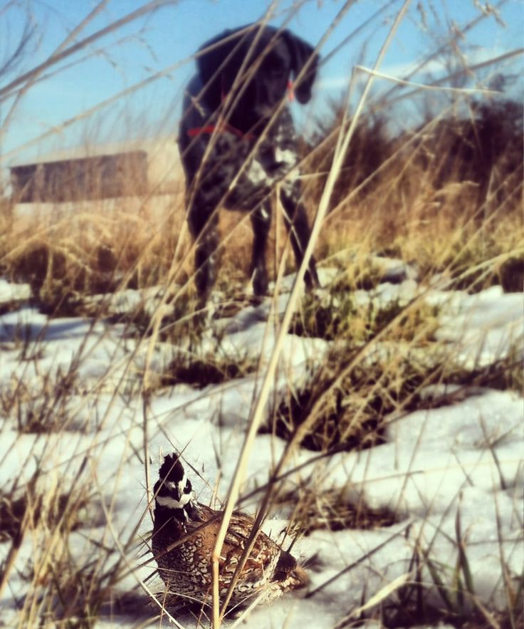 German shorthaired pointer quail hunting