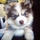 I heard you all like Pomsky puppies so lets break the Internet together. Reddit meet Kairi!