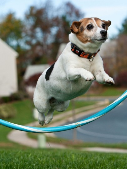 """November 8, 2010: The winner for the Reader Sunshots series """"Pets"""" goes to Bob Hennessy for his photo titled """"Tricks."""" He took the photo for an online photo course a couple of years ago of Jackie, his now 15-year-old Jack Russell terrier. According to Hennessy, """"She is quite the performer and loves to do tricks. Jumping through a hula hoop is just one of many."""""""