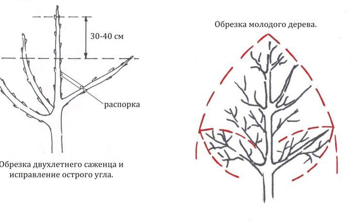 Наиболее важную роль играет формирующая обрезка плодовых деревьев, благодаря ей закладывается правильный рост, развитие и плодоношение дерева.