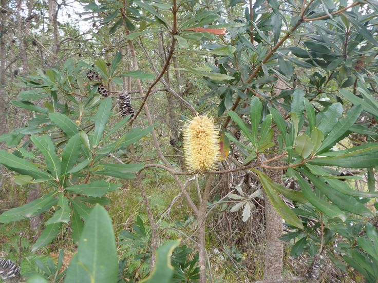 Banksia found on the Dorrigo Plateau, mid north New South Wales