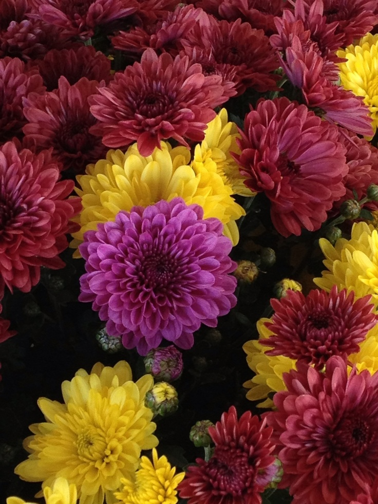 17 best images about flowers mums on pinterest fall for Popular fall flowers