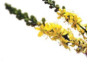 agrimony-fiori-di-bach