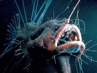 Tiefseefische - Der Anglerfisch Der Tiefsee-Anglerfisch (Ceratioidei) ist vom so genannten Mesopelagial bis hin zum Bathypelagial überall in Tiefseeregionen zu finden. Seinen Namen hat der Anglerfisch deshalb, weil er genau vor seiner Schnauze eine Art Angel mit einem Leuchtkörper besitzt. Durch die Leuchtfähigkeit (Biolumineszenz) an dieser Angel lockt er seine Beute an ihn heran, um sie dann zu verspeisen. Ein gewöhnlicher Tiefsee-Anglerfisch kann übrigens bis zu 20cm groß werden. Auch…