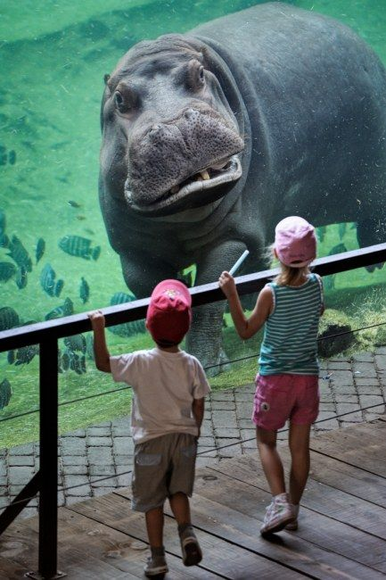 Water sight: The hippo stares at his little visitors at the bioparc in Valencia, Spain.