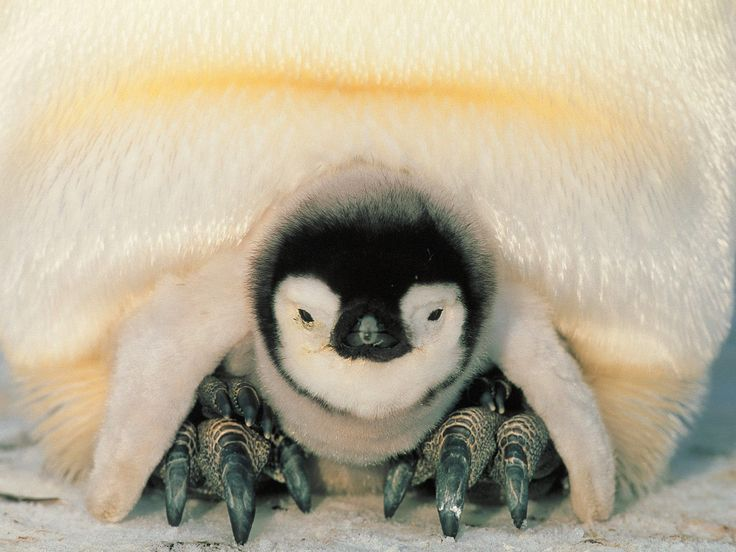 Baby penguin, safe with parent.