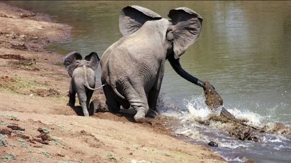 mother elephant saves baby from the hungry crocodile.