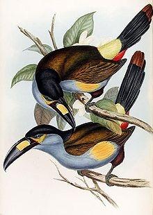 Andigena laminirostris por John Gould