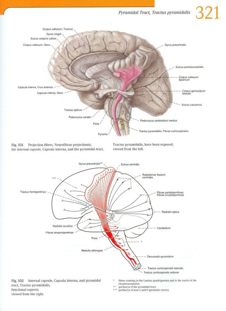 46 besten Anatomy of the Nerve system Bilder auf Pinterest   Anatomie