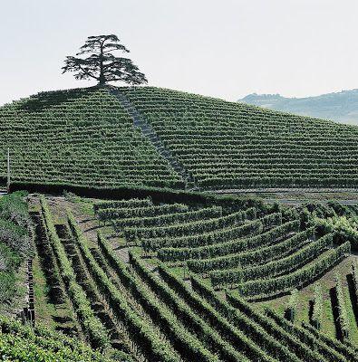 Il Cedro de La Morra, ricordo di un amore e simbolo di una tenuta #TenutaMonfalletto #LaMorra #Langhe #Piemonte