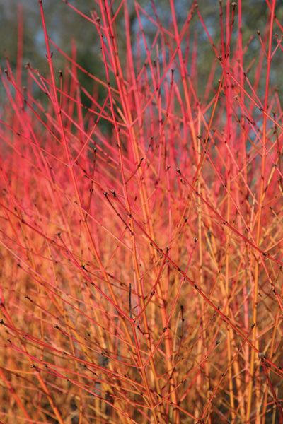 Cornus sanguinea 'Midwinter Fire' - The green leaves of this upright, deciduous shrub turn bright shades of orange-yellow in autumn, before they fall to reveal spectacular orange, red and yellow bare stems. Position in full sun for best colour.