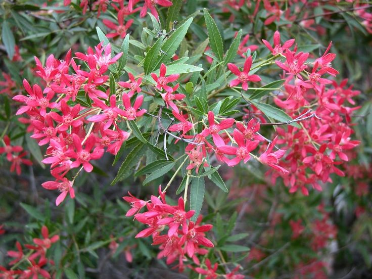 This good-looking evergreen native shrub has three-pointed leaves and creamy flowers in spring. After flowering the calyxes turn a rusty red for a stunning     Christmas show.