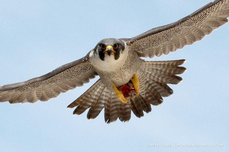 10 Amazing Bird Facts (Falcon)