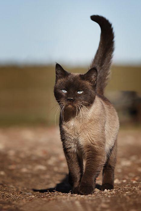 Ich liebe braune Katzen, besonders diesen zweifarbigen Farbton dieser Katze. Es …