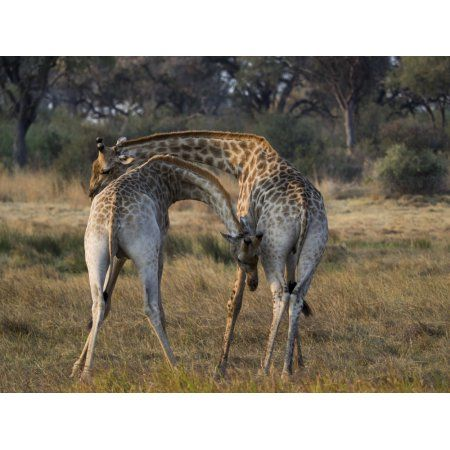 Two young Giraffes necking (Giraffa camelopardalis) in a field Okavango Delta Botswana Canvas Art - Panoramic Images (12 x 16)