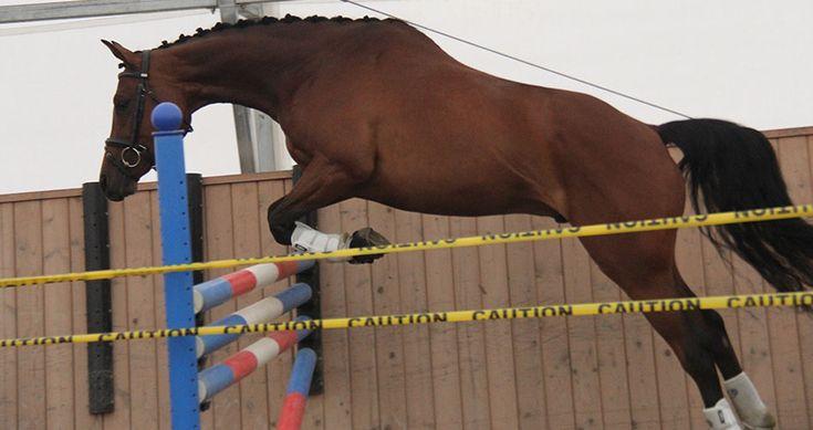 LITIGATOR DMV, 2010.  Show Jumping Or Event Prospect.  #dressage #warmblood #hanoverians #equestrian